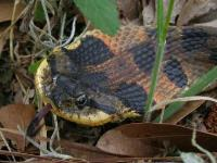 Eastern Hognose Snake expanded to max.