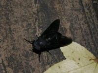 Black Horse Fly