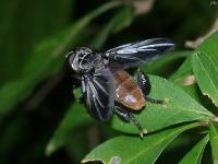 Feather-legged Fly