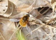 Bee Fly(Bombylius mexicanus)