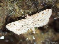 Watermilfoil Leafcutter Moth