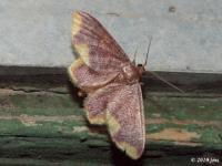 Stained Lophosis Moth (Male)