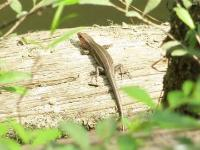 Older Five-lined Skink