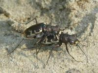 Common Shore Tiger Beetle Mating