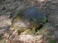 Large Spiny Softshell Turtle