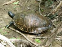 Old Large Cooter Turtle