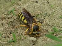 Apoid Sand Wasp