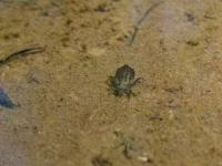 Dragonfly Larvae(possible clubtail)
